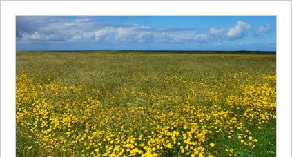 Machair flowers, Isle of South Uist, Western Isles